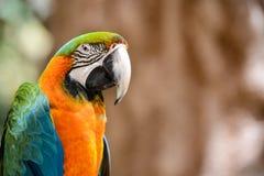 Зеленая и померанцовая птица ары Стоковые Изображения RF