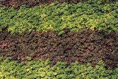 Зеленая и темная фиолетовая листва гребет - дисплей стоковое фото rf