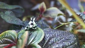 Зеленая и черная лягушка дротика отравы на лист видеоматериал