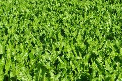 Зеленая капуста свеклы Стоковая Фотография RF