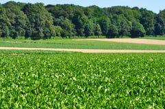 Зеленая капуста свеклы Стоковые Изображения