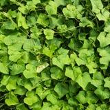 Зеленая картина листьев плюща стоковое фото