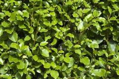 зеленая картина листьев стоковое изображение rf