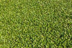 Зеленая картина травы duckweed Стоковое Изображение RF