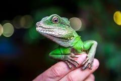 Зеленая красивая ящерица Стоковая Фотография
