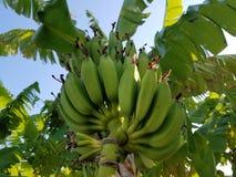 Зеленая ладонь банана стоковые фотографии rf