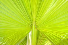 зеленая ладонь lush листьев Стоковые Фотографии RF