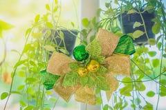 Зеленая лента с небольшим шариком для украшает на nummula Dischidia стоковые фотографии rf