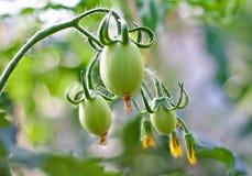 зеленая лоза томатов Стоковая Фотография