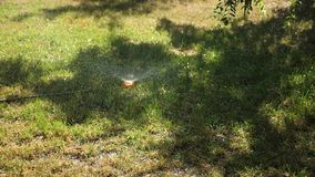 Зеленая лужайка в парке, в саде намоченном в утре с водой Система водообеспечения распыляет воду на лужайке сток-видео
