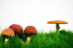 Зеленая лужайка с мухомором мухы пластинчатого гриба мухы Стоковые Фотографии RF