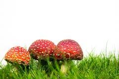 Зеленая лужайка с мухомором мухы пластинчатого гриба мухы Стоковая Фотография
