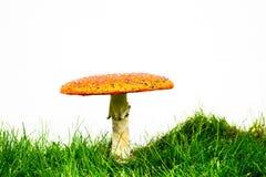 Зеленая лужайка с мухомором мухы пластинчатого гриба мухы Стоковые Фото