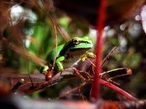 Зеленая лягушка вала Стоковое фото RF