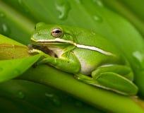 Зеленая лягушка дерева на зеленых листьях Стоковые Фотографии RF