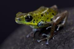 Зеленая лягушка дротика клубники, pumilio Oophaga Стоковые Изображения