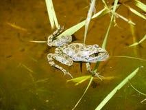 Зеленая лягушка Лягушка лодкамиамфибии обычна Стоковое Изображение RF