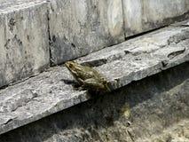 Зеленая лягушка Лягушка лодкамиамфибии обычна Стоковые Фотографии RF