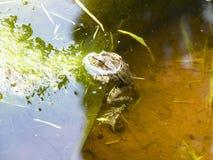 Зеленая лягушка Лягушка лодкамиамфибии обычна Стоковые Фото