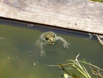 Зеленая лягушка Лягушка лодкамиамфибии обычна Стоковые Изображения RF