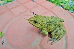 Зеленая лягушка на керамическом поле Стоковое Изображение