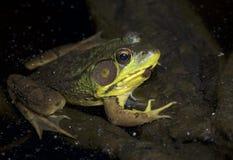 Зеленая лягушка на ноче стоковые изображения