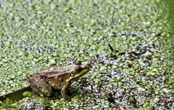 Зеленая лягушка сидит на доске Стоковое Изображение RF