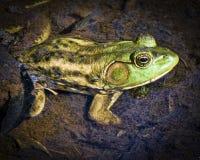 Зеленая лягушка топи Луизианы Стоковое Изображение RF