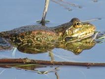 Зеленая лягушка частично погруженная в воду в воде, на предпосылке водорослей стоковое фото