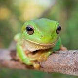 Зеленая лягушка дерева Стоковые Фотографии RF