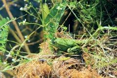 Зеленая лягушка. Стоковые Изображения