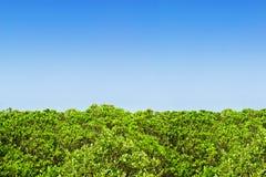 зеленая мангрова изгороди Стоковые Фотографии RF