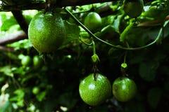 Зеленая маракуйя свежая на красивом дереве Стоковое Фото