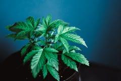 Зеленая марихуана растет марихуана завода конопли листьев медицинская, молодой красивый c на красивой предпосылке Стоковые Фото