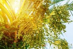Зеленая молодая финиковая пальма на конце солнечного дня вверх стоковое фото rf