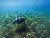 Зеленая морская черепаха в морской воде Тропическое животное лагуны Морской вид в одичалой природе Стоковое Изображение RF