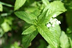 зеленая мята листьев Стоковое Изображение RF