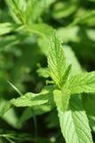 зеленая мята листьев Стоковые Изображения