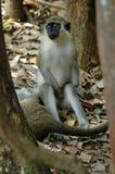 зеленая обезьяна стоковые фото