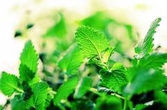 Зеленая органическая мята на светлой предпосылке, селективном фокусе знамена скопируйте космос Листья мяты с солнечными утечками, стоковые изображения