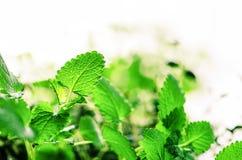 Зеленая органическая мята на светлой предпосылке, селективном фокусе знамена скопируйте космос Листья мяты с солнечными утечками, стоковые фотографии rf
