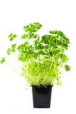 зеленая петрушка Стоковые Фото