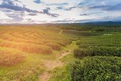 Зеленая плантация дерева над высоким холмом с горизонтом Стоковые Изображения