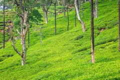 Зеленая плантация чая Цейлона стоковые фотографии rf