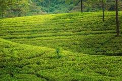 Зеленая плантация чая Цейлона стоковое изображение rf