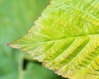 зеленая поленика листьев Макрос Стоковое Изображение RF