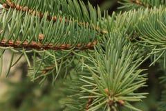 Зеленая предпосылка ветвей лапок съела с spiky иглами когтей стоковое фото