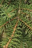 Зеленая предпосылка ветвей лапок съела с spiky иглами когтей стоковое изображение