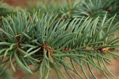 Зеленая предпосылка ветвей лапок съела с spiky иглами когтей стоковая фотография
