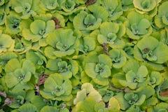 Зеленая предпосылка водоросли стоковые изображения